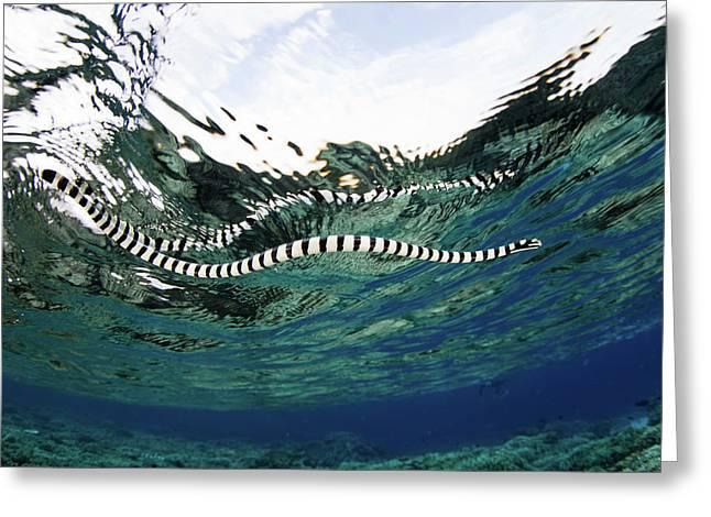 A Banded Sea Snake Laticauda Colubrina Greeting Card by Ethan Daniels