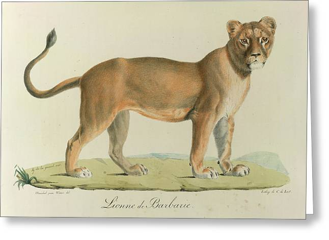 A Barbary Lioness Greeting Card by British Library