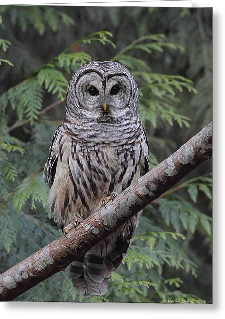 Vancouver Pyrography Greeting Cards - A Barred Owl Greeting Card by Daniel Behm