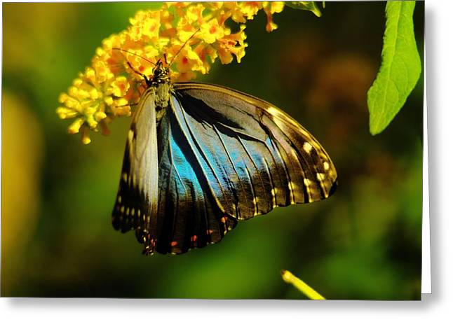 Living Things Greeting Cards - A beautiful butterfly Greeting Card by Jeff  Swan