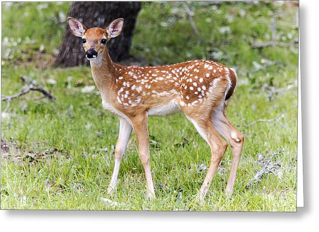 A Beautiful Fawn Greeting Card by Dana Moyer