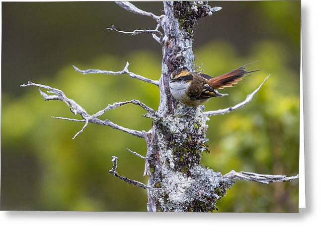 Birds. Thorns Greeting Cards - A Beautiful Little Bird Greeting Card by Tim Grams