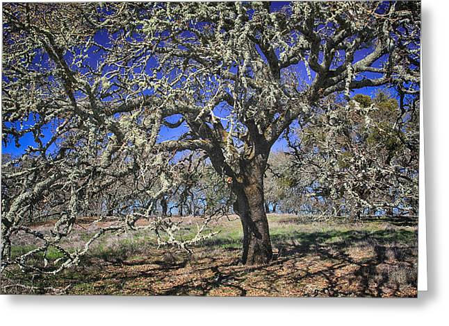 Bare Oak Tree Greeting Cards - A Beautiful Mess Greeting Card by Laurie Search