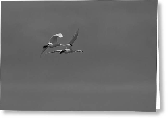Flying Swan Greeting Cards - A Beautiful Pair Greeting Card by Thomas Young