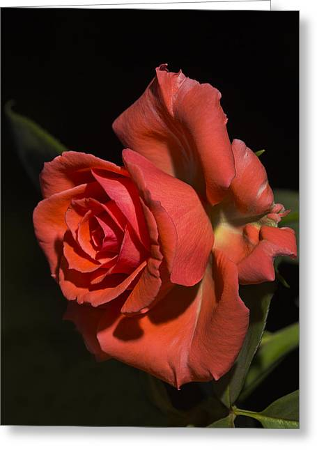 Rose Highlights Greeting Cards - A Beautiful Rose Greeting Card by Todd M Bloomer