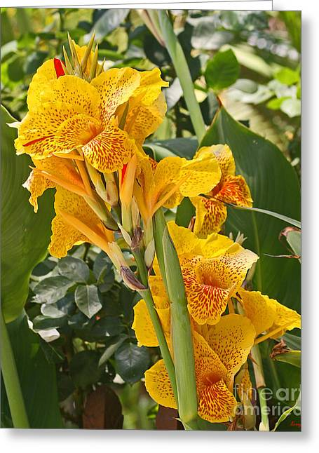 Canna Digital Art Greeting Cards - A Beautiful Yellow Canna Lilly Greeting Card by Kenny Bosak