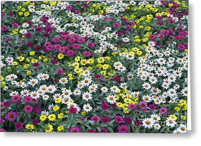 Zinnias Greeting Cards - A Bed of Color  Greeting Card by Tim Gainey