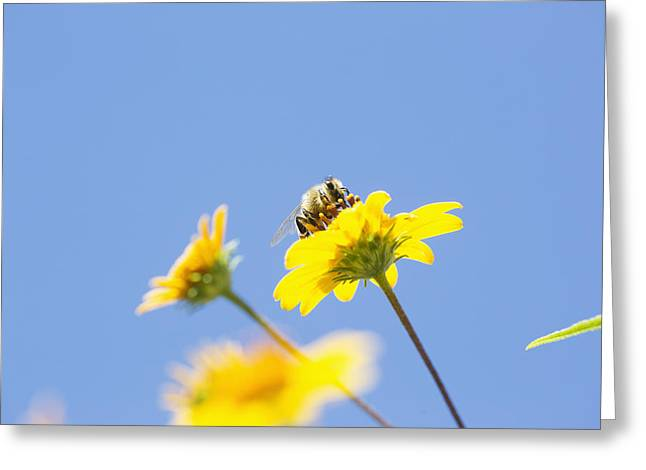 Symbiotic Relationship Greeting Cards - A Bee Is Busy Pollenating Flowers Greeting Card by Robert Postma