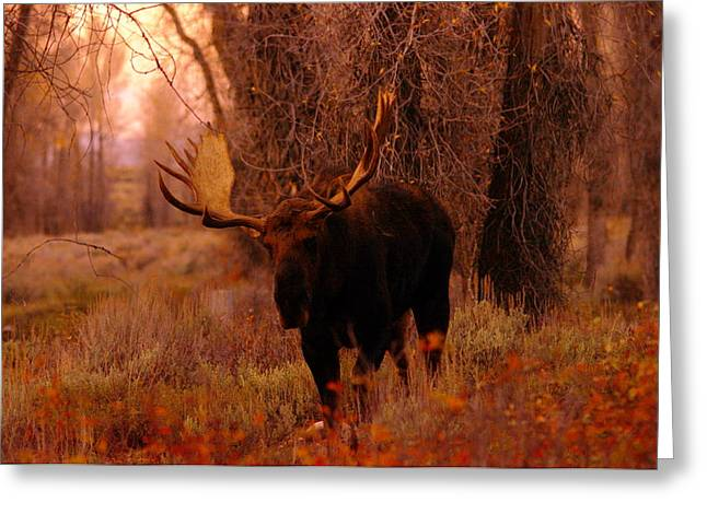 Moose Bull Greeting Cards - A big bull moose Greeting Card by Jeff  Swan