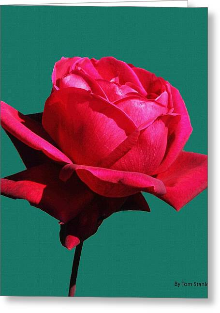 Mcc Greeting Cards - A Big Red Rose Greeting Card by Tom Janca