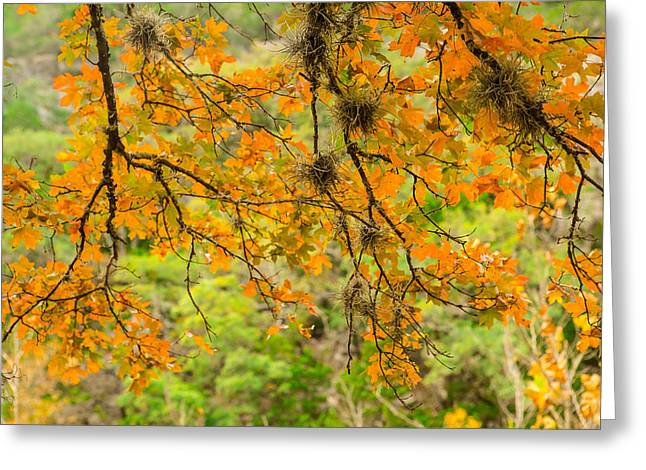 Autumn Colors Greeting Cards - A Bigtooth Maple in Orange Greeting Card by Ellie Teramoto