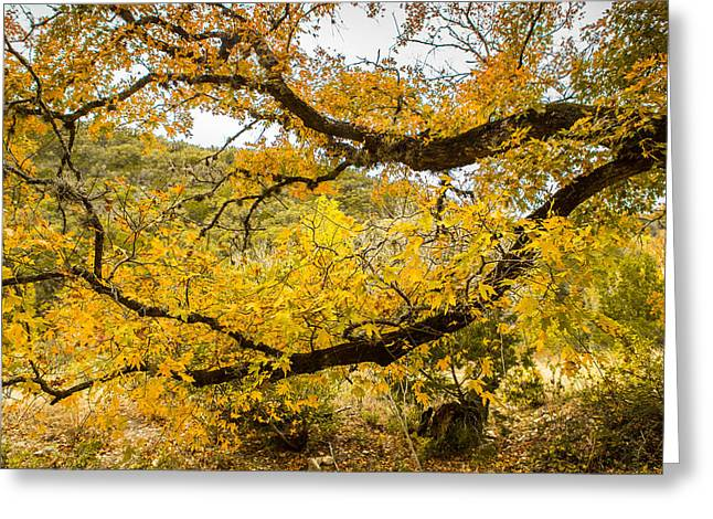 Fall Colors Greeting Cards - A Bigtooth Maple In Yellow Greeting Card by Ellie Teramoto
