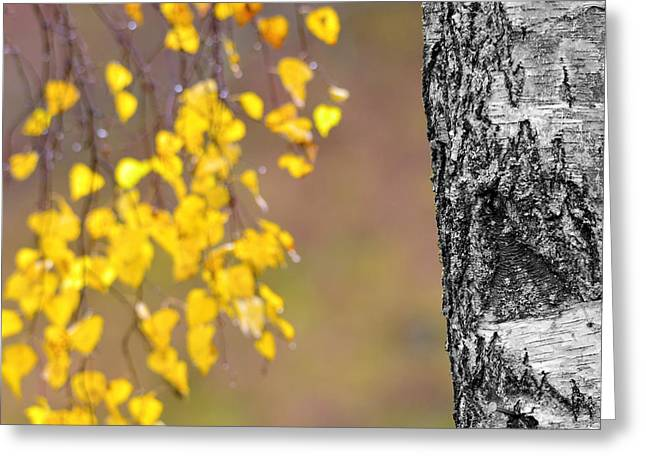 Bokhe Greeting Cards - A birch at the lake Greeting Card by Toppart Sweden