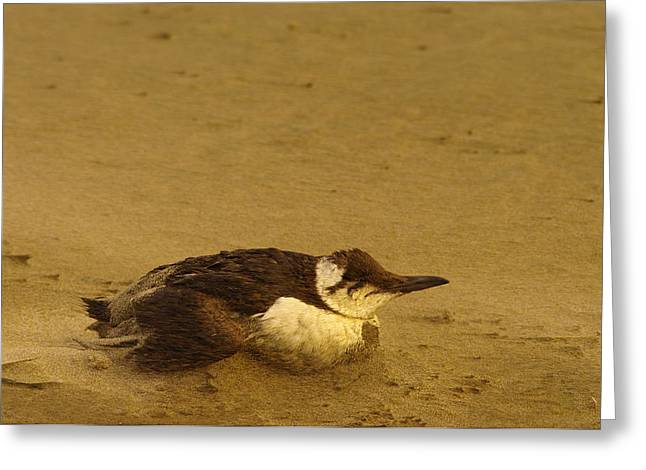 Sea Birds Greeting Cards - A bird struggling in the wind. Greeting Card by Jeff  Swan