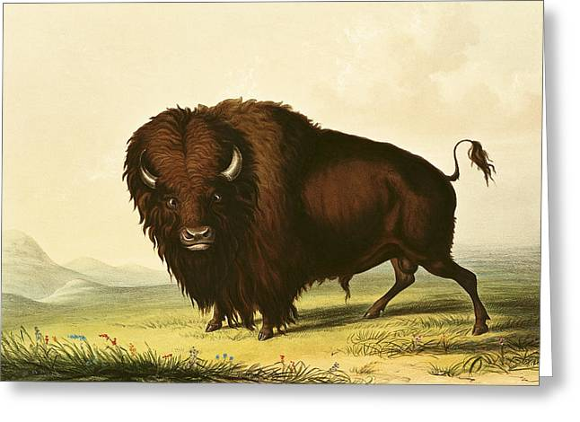 Buffalo Greeting Cards - A Bison, C.1832 Coloured Engraving Greeting Card by George Catlin
