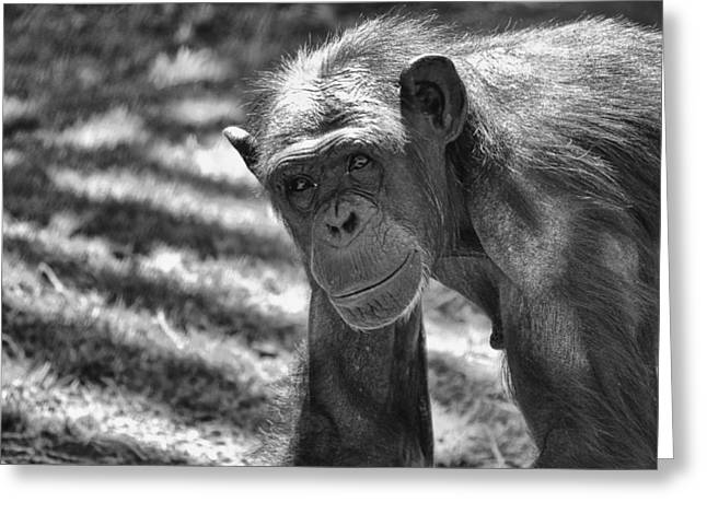 Chimpanzee Greeting Cards - A Bit Like Us V5 Greeting Card by Douglas Barnard