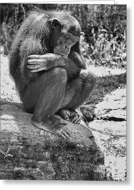 Chimpanzee Greeting Cards - A Bit Like Us V6 Greeting Card by Douglas Barnard