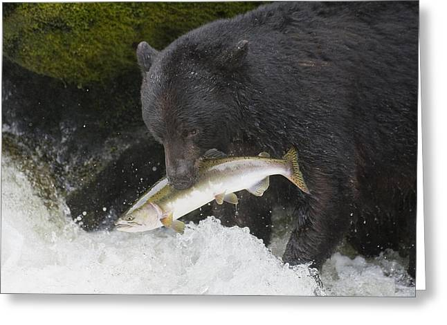 Fishing Creek Greeting Cards - A Black Bear Catches A Pink Salmon Greeting Card by John Hyde