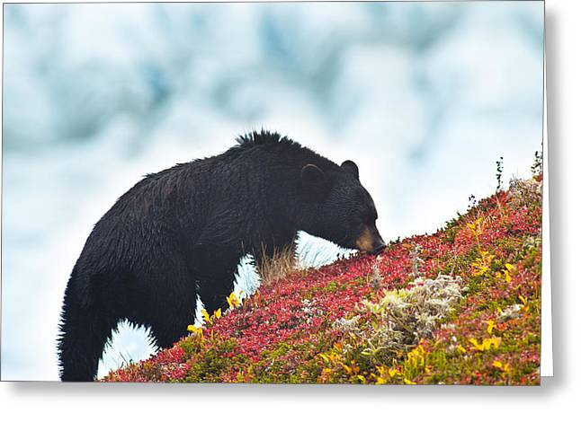 Black Berries Greeting Cards - A Black Bear Is Feeding On Berries On A Greeting Card by Michael Jones