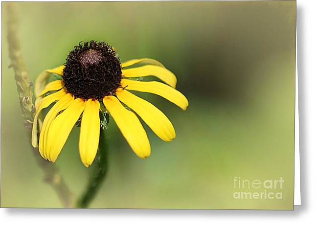 Florida Flowers Greeting Cards - A Black Eyed Susan Greeting Card by Sabrina L Ryan