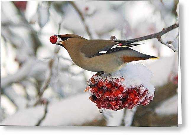 Cold Day Greeting Cards - A Bohemian Waxwing Feeding On Mountain Greeting Card by Brian Guzzetti