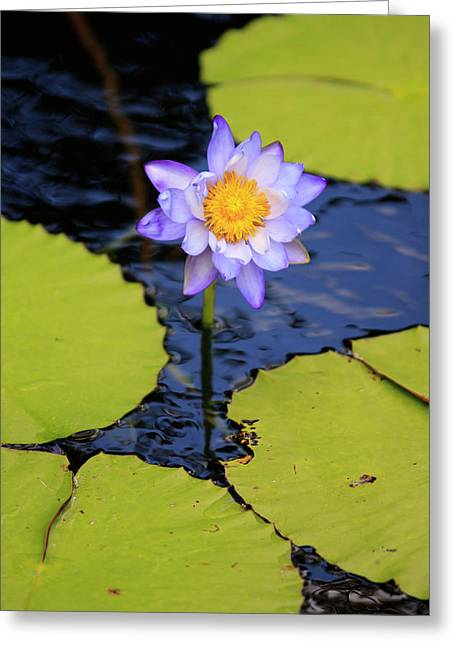 A Bright Purple Water Lily Greeting Card by Paul Dymond