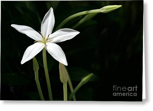 Florida Flowers Greeting Cards - A Bright White Star Greeting Card by Sabrina L Ryan
