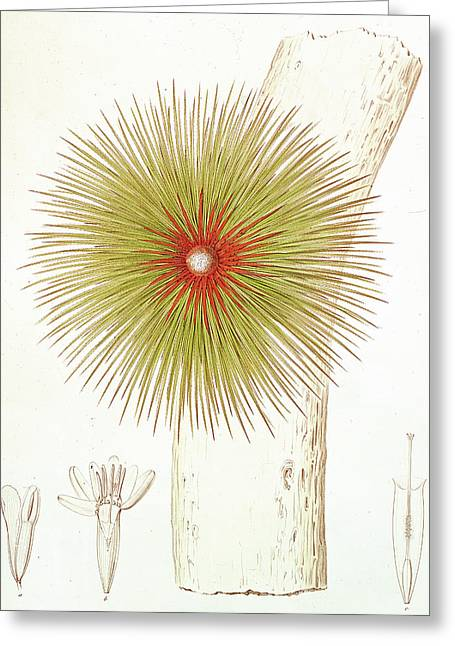 Bromeliad Drawings Greeting Cards - A Bromelia Found in the Andes Greeting Card by French School