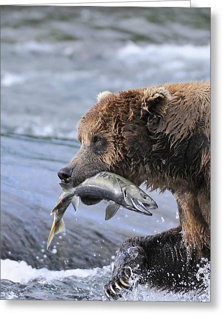 Chum Greeting Cards - A Brown Bear Carries Away A Chum Salmon Greeting Card by Ed Bennett
