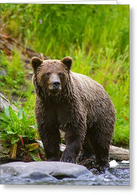 Russian Born Greeting Cards - A Brown Bear Fishing For Salmon On The Greeting Card by Michael Jones
