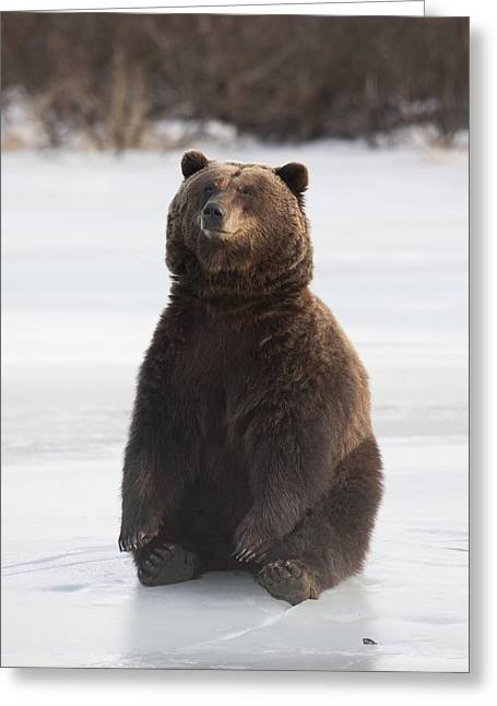 American Brown Bear Greeting Cards - A Brown Bear Sits On A Frozen Lake Greeting Card by Doug Lindstrand