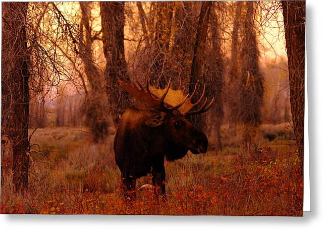 Hooved Mammal Greeting Cards - A bull moose in the woods Greeting Card by Jeff  Swan