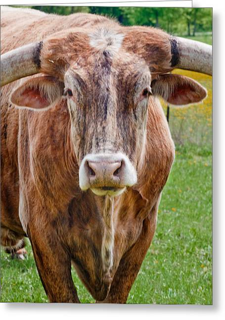 Steer Greeting Cards - A Bunch of Bull Greeting Card by David and Carol Kelly