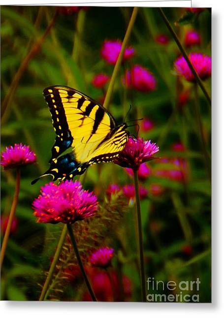Common Tiger Butterfly Greeting Cards - A Busy Eastern Tiger Butterfly Greeting Card by Brian Druggan