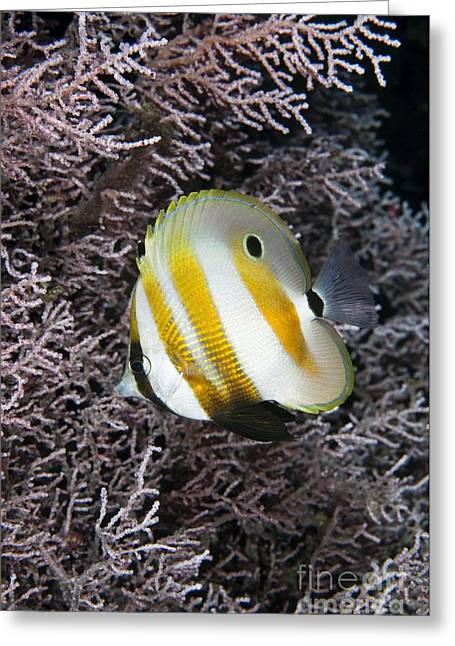 Reef Fish Greeting Cards - A Butterflyfish Sheltering In A Sea Fan Greeting Card by Matthew Oldfield