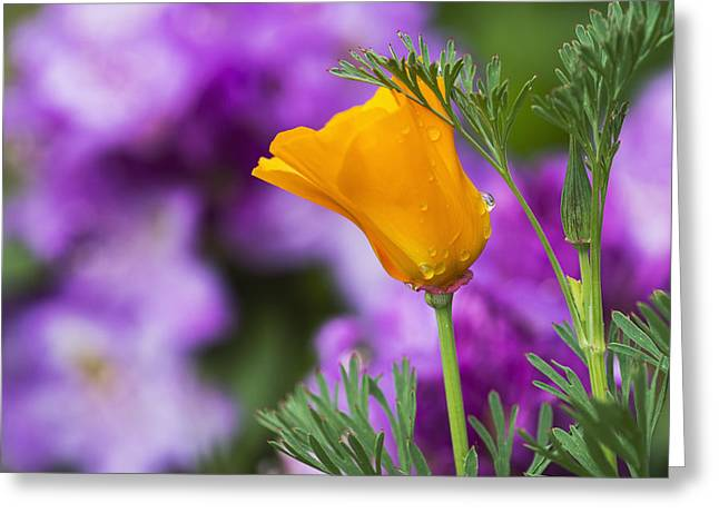 Color Focus Greeting Cards - A California Poppy Blooms In A Garden_ Greeting Card by Robert L. Potts