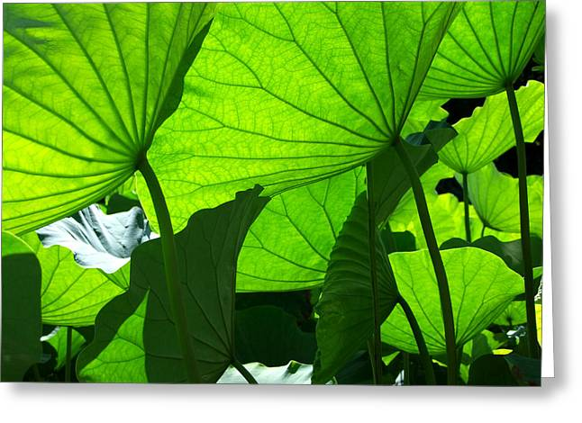 Lotus Full Bloom Greeting Cards - A Canopy of Lotus Leaves Greeting Card by Larry Knipfing