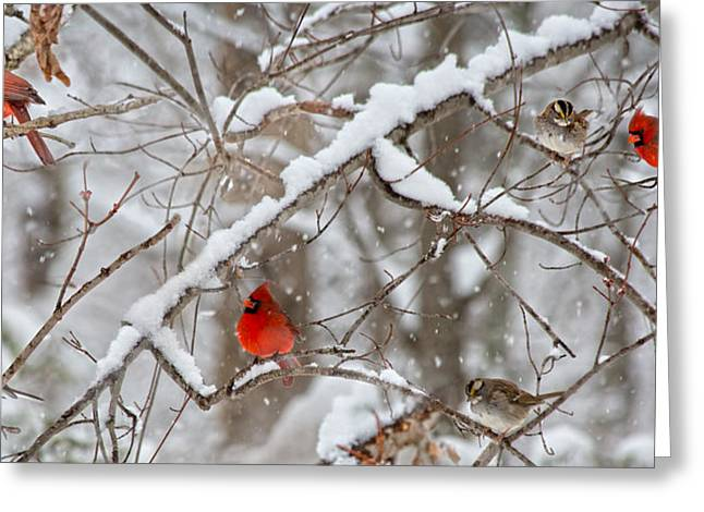 Sit-ins Greeting Cards - A Cardinal Snow Greeting Card by Betsy A  Cutler