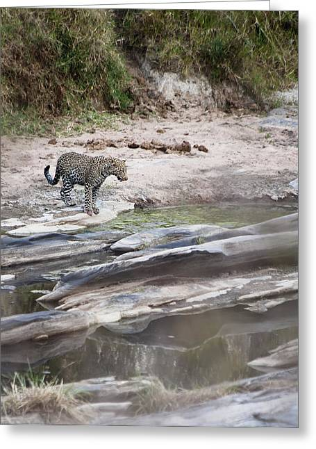 Reflections In River Greeting Cards - A Cheetah Stands At The Edge Of The Greeting Card by Diane Levit
