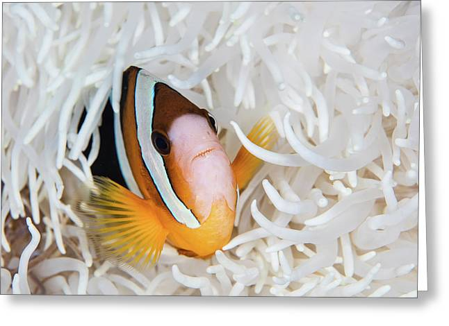 A Clarks Anemonefish Swims Among Greeting Card by Ethan Daniels