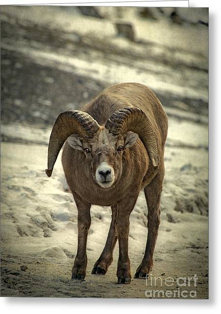 Bighorn Greeting Cards - A Close Encounter Greeting Card by Evelina Kremsdorf