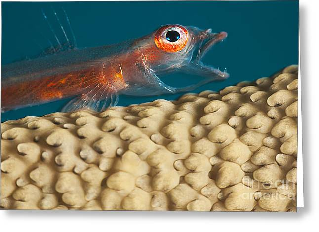 Yapping Greeting Cards - A close look at a Whip Coral Goby _Bryaninops amplus_ as it is opening it_s mouth on whip coral off the island of Yap_ Yap, Micronesia Greeting Card by Dave Fleetham