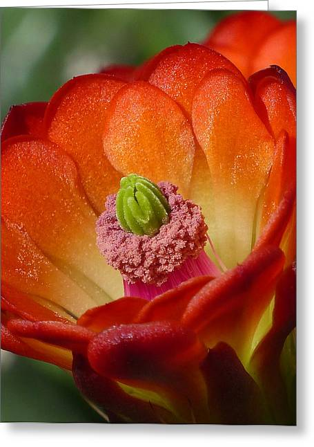 Cactus Southwest Cactus Flower Orange Wildflowers Nature Arizona Greeting Cards - A Closer Look Claret Cup Greeting Card by Cindy McDaniel