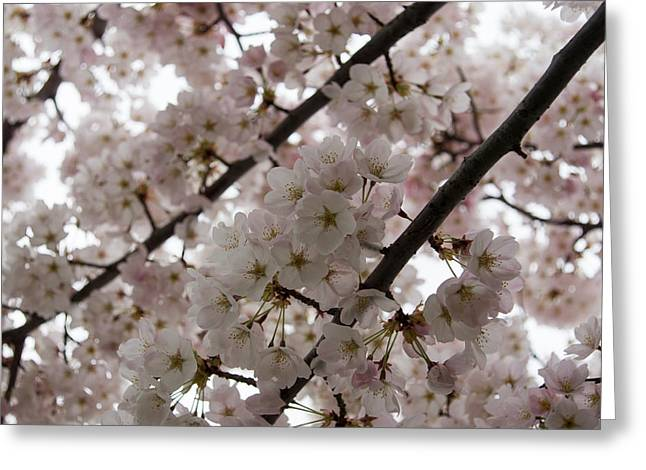 March Greeting Cards - A Cloud of Cherry Blossoms Greeting Card by Georgia Mizuleva