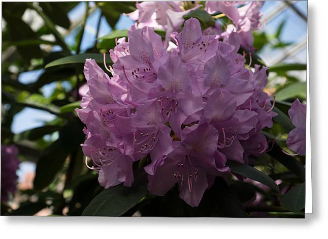 Azalias Greeting Cards - A Cluster of Hot Pink Rhododendron Flowers Greeting Card by Georgia Mizuleva