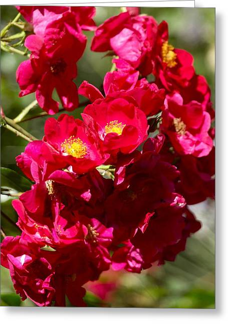 Sunlight On Flowers Greeting Cards - A Cluster of Roses Greeting Card by Michele Myers