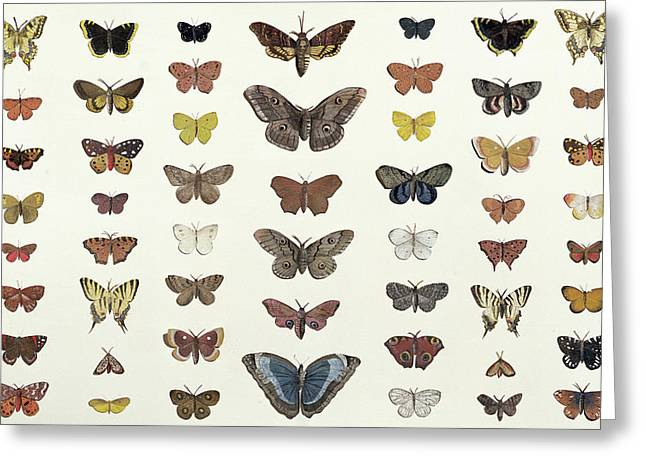Butterflies Drawings Greeting Cards - A collage of butterflies and moths Greeting Card by French School