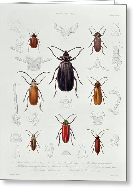 Invertebrates Photographs Greeting Cards - A Collection Of Coleoptera Found In Chile, Illustration From Historia De Chile, Engraved By Lebrun Greeting Card by French School