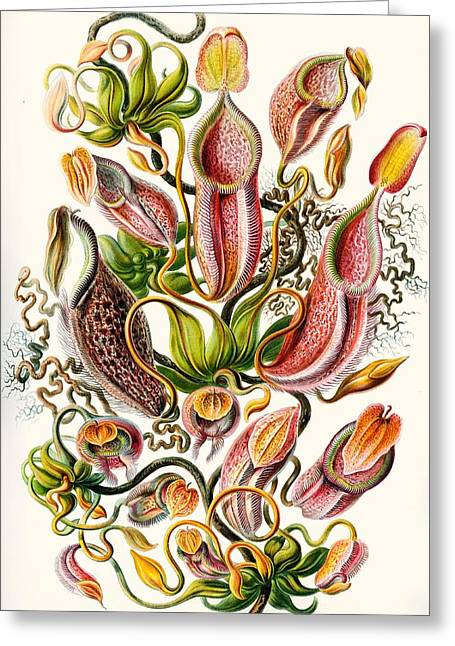 Vertical Drawings Greeting Cards - A Collection Of Nepenthaceae Greeting Card by Ernst Haeckel