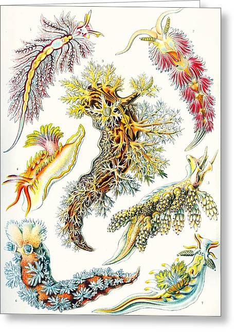 Vertical Drawings Greeting Cards - A Collection Of Nudibranchia Greeting Card by Ernst Haeckel